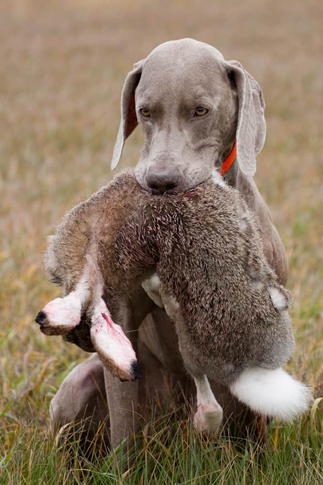 Where Weimaraner Came From