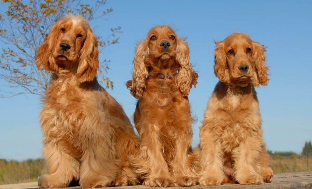 cocker spaniel with dogs