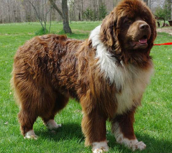 Newfoundland's heavy coat