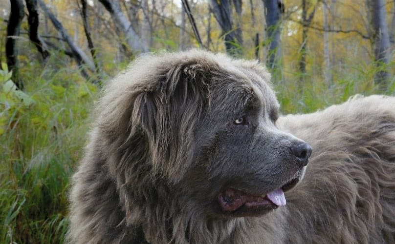 Newfoundland breed