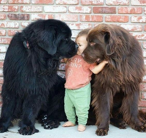 giant dog is highly tolerant of children