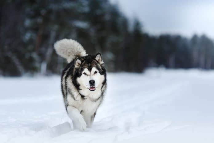 Alaskan Malamute Dog Breed