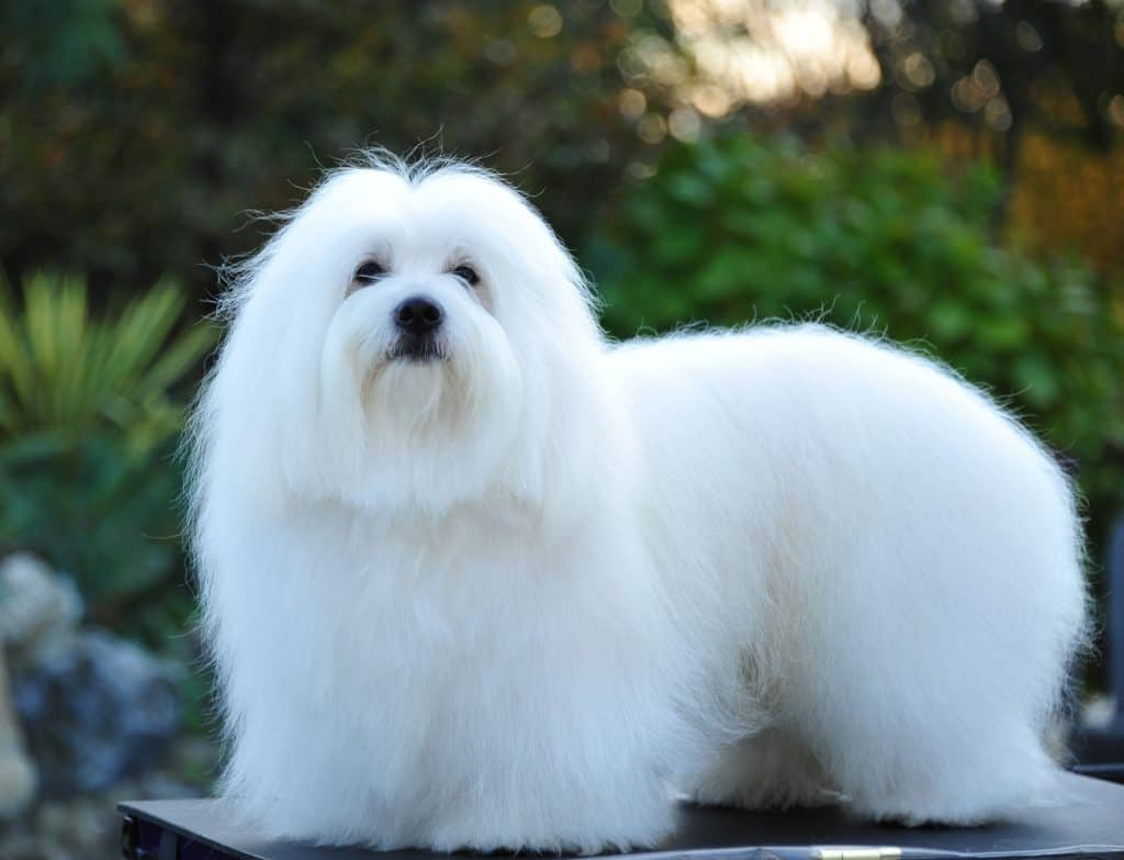 Coton de Tulear Small Dog Breeds