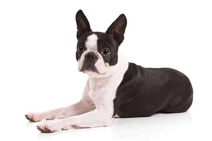 Small dog breeds Boston Terrier
