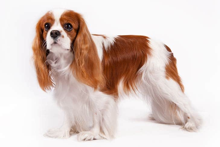 Cavalier King Charles Spaniel Small dog breeds