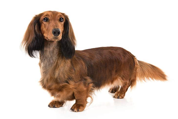 Dachshund Small Dog Breeds