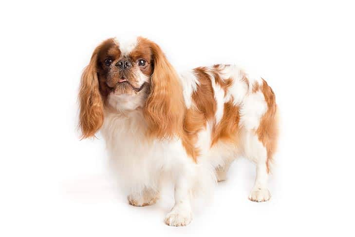 English Toy Spaniel Small Dog Breeds