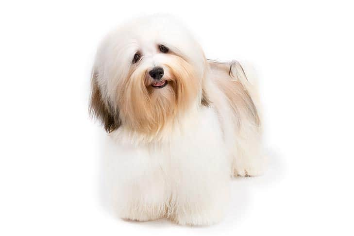 Havanese small breed