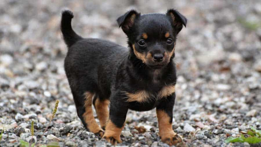 Lancashire Heeler Small breeds