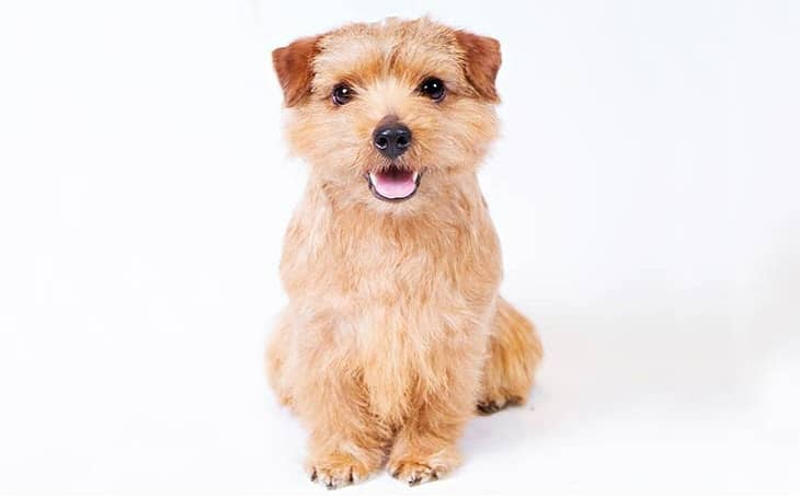 Norfolk Terrier Small dog breeds