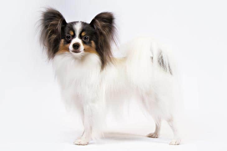Papillon  Small Dog breeds