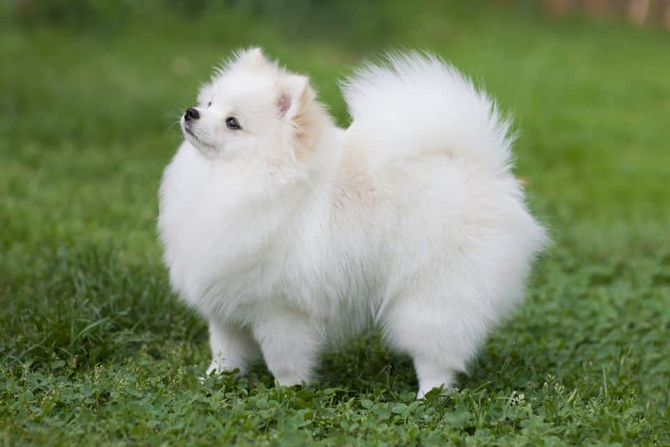 Pomeranian small dog breeds