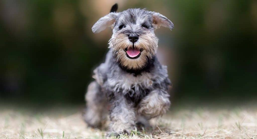 Miniature Schnauzer Small Dog Breeds