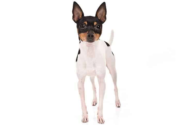 Toy Fox Terrier Small Breeds