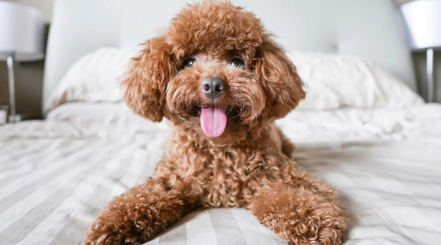 Toy Poodle Small dog breeds