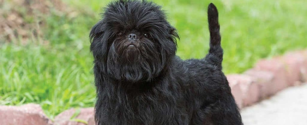 Affenpinscher Small Dog Breeds