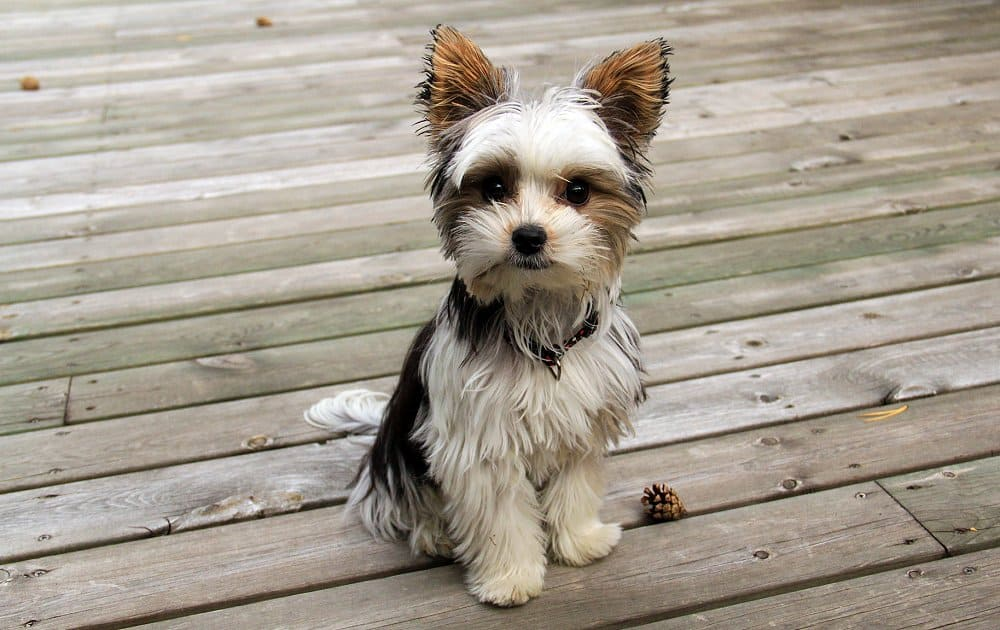 Biewer Terrier Small Dog breeds