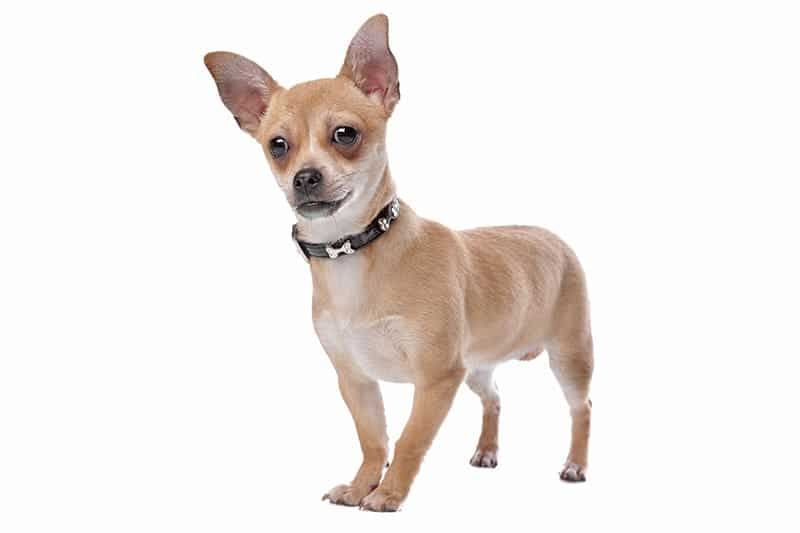 Chihuahua small breed