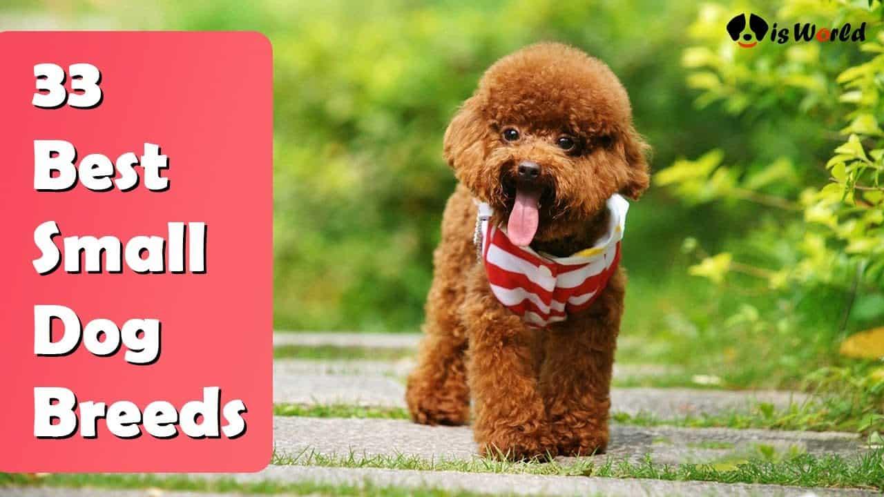 33 Best Small Dog Breeds : Pictures, Hypoallergenic, Quiet, Friendly