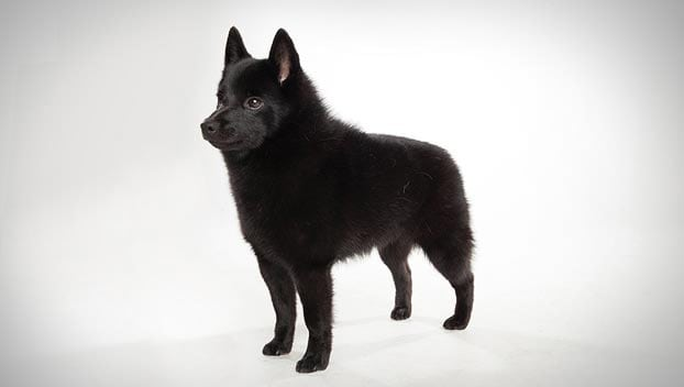 Schipperke Small Dog Breeds