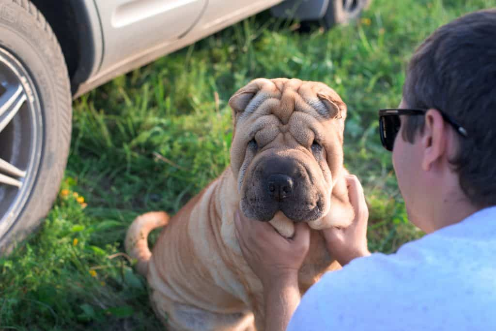 Chinese Shar Pei Trainability