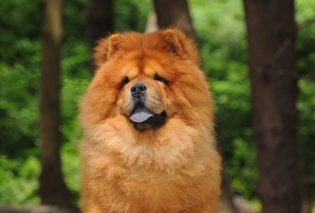Chow Chow MOST EXPENSIVE DOGS