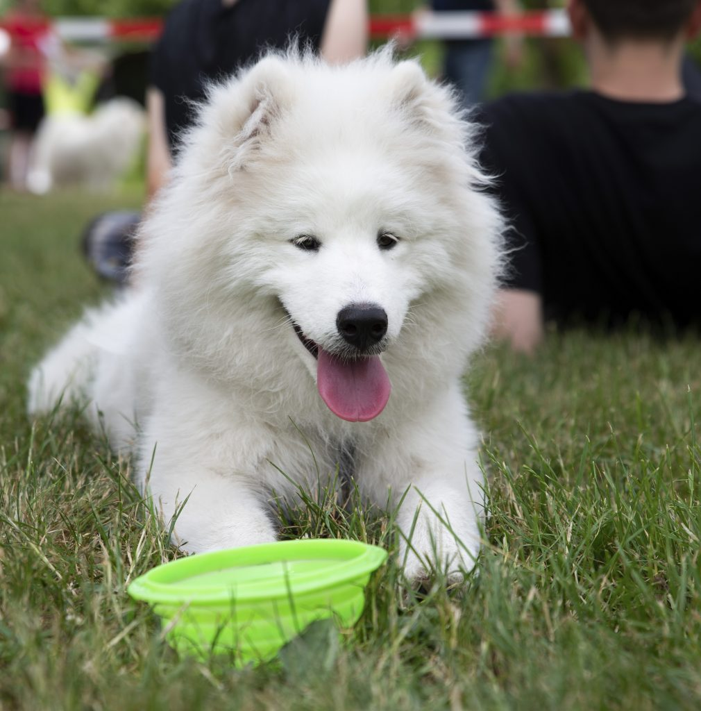 Samoyed Feeding