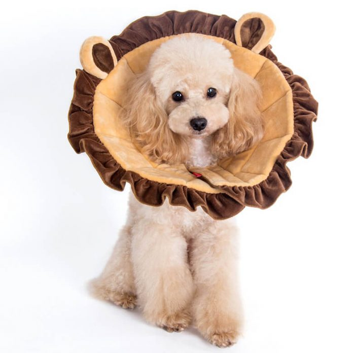 A spayed or neutered dog wearing a cone or protective collar. (an example of neutering and spaying dogs).