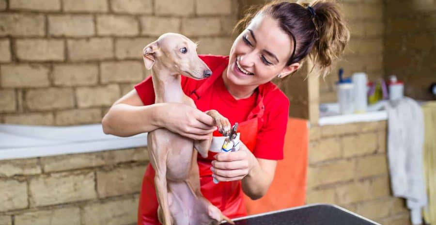 Italian greyhound grooming