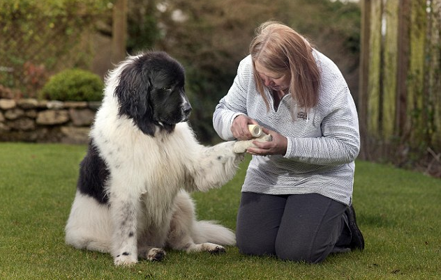 Vaccination and Care of Newfoundlands