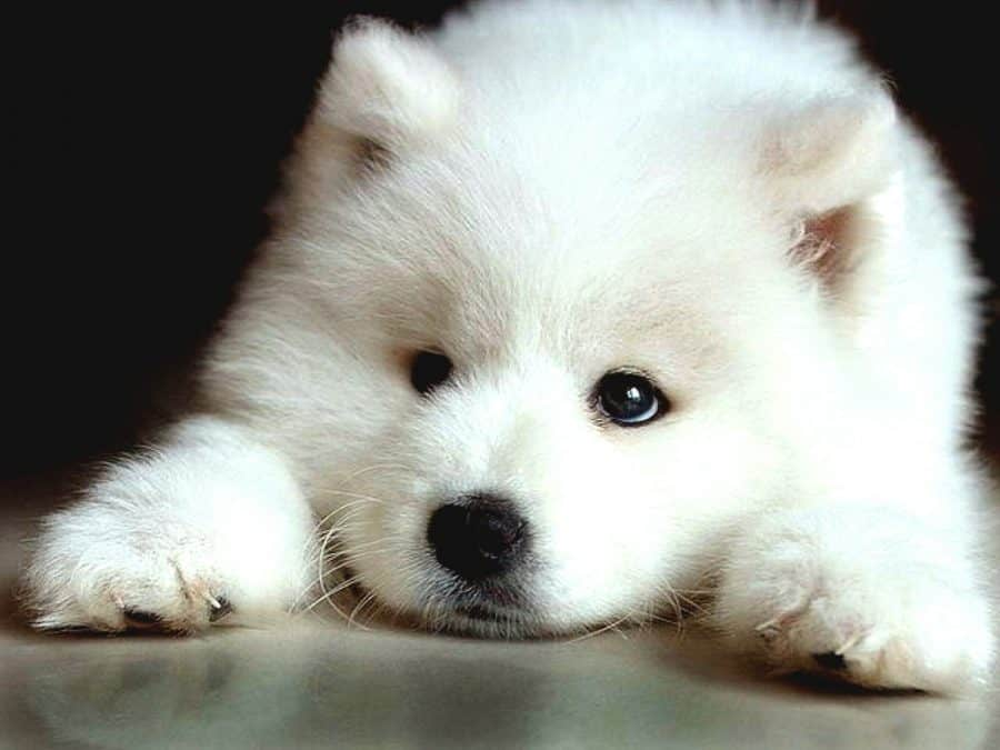 samoyed diseases
