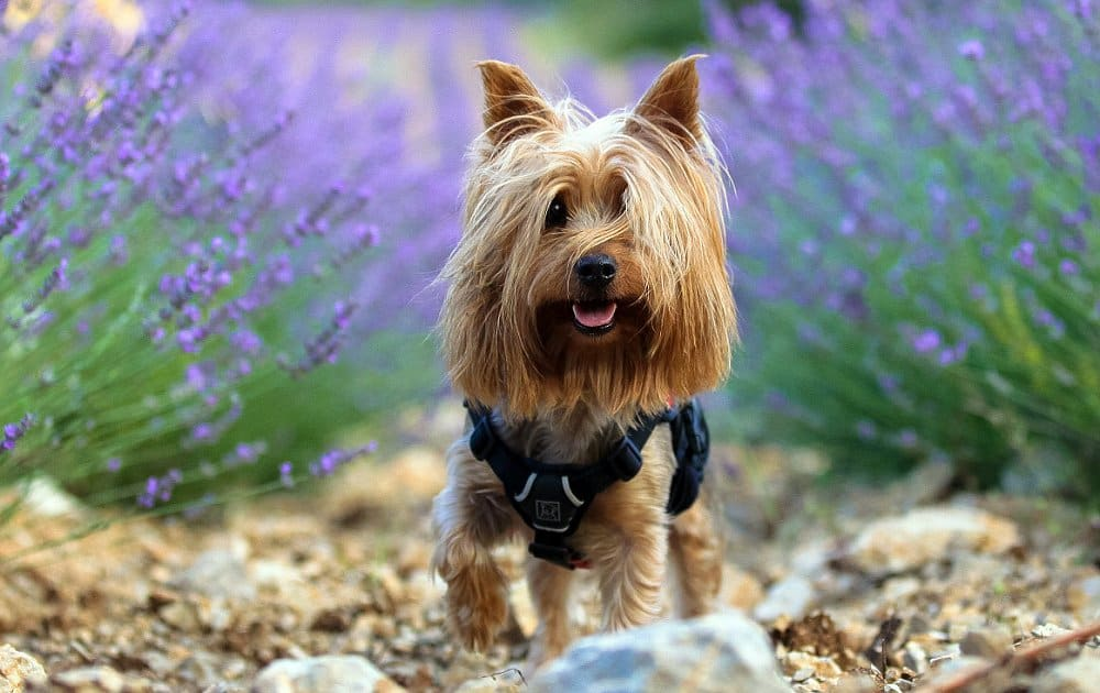 Silky Terrier Pictures Feeding