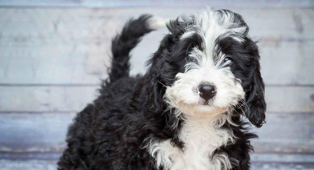 Bernedoodle Pictures Feeding Diseases Vaccination Grooming