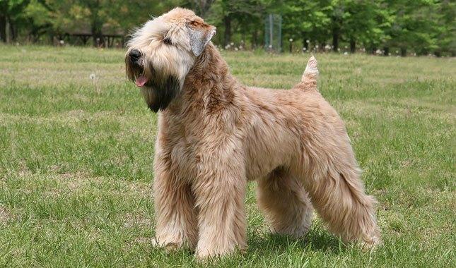 """Indoor//Outdoor 18/"""" Wide WHEATEN TERRIER Street Sign dog lover great pet owner"""