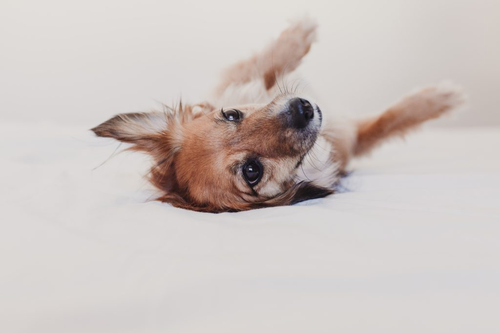 Benadryl Dosage For Dogs