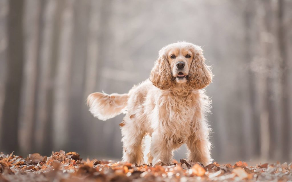 THE ENGLISH COCKER SPANIEL