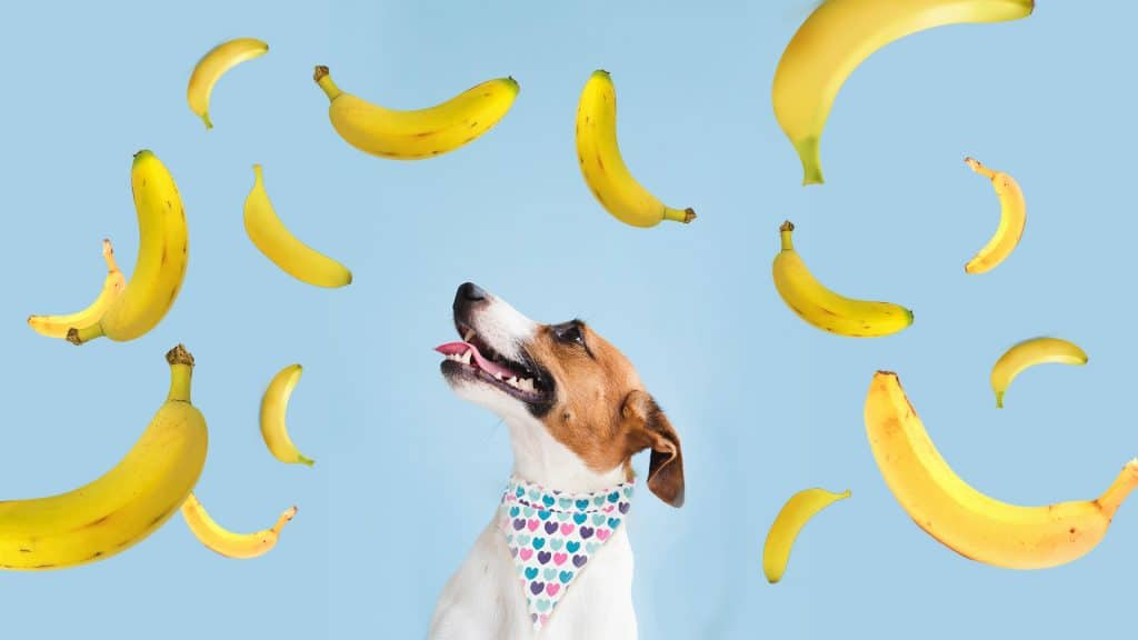 can dogs eat bananas?