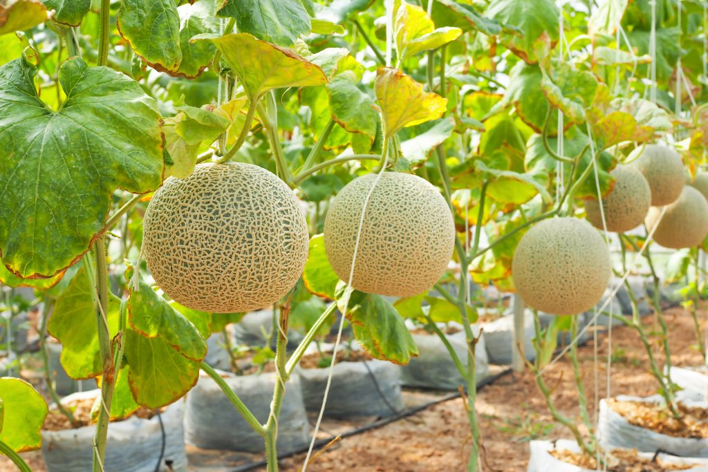 Can Dogs Eat Cantaloupe Precautions Best Practises And Permissible Quantities Your dog needs lots of water, especially during hot summer months. can dogs eat cantaloupe precautions