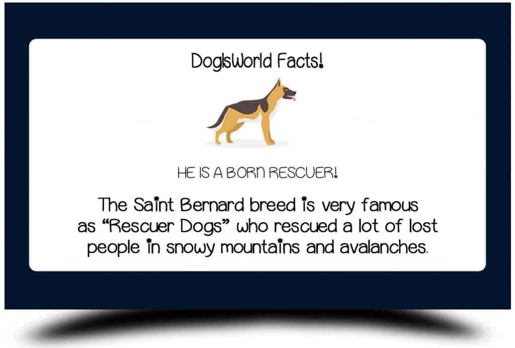saint bernard facts
