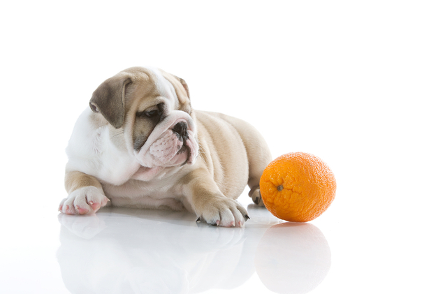 Bulldog and orange
