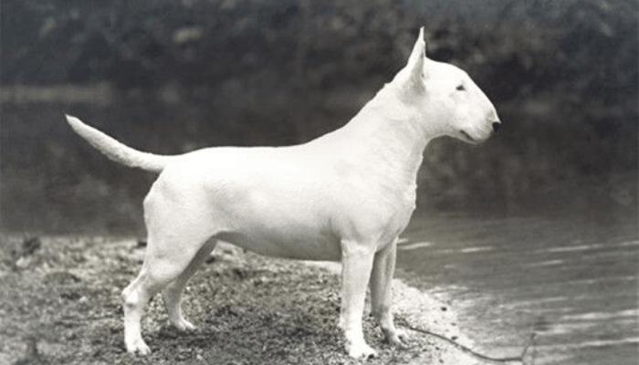 bull terrier white