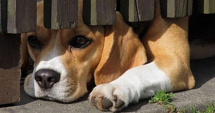 Scared beagle dog