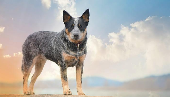 About Australian Cattle Dogs