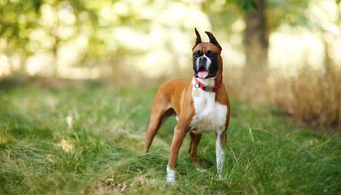 Boxer police dog