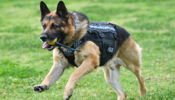 German Shepherd Dog Police dog