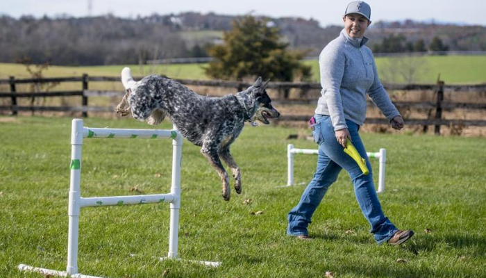 Australian Cattle Dogs Parenting and Training