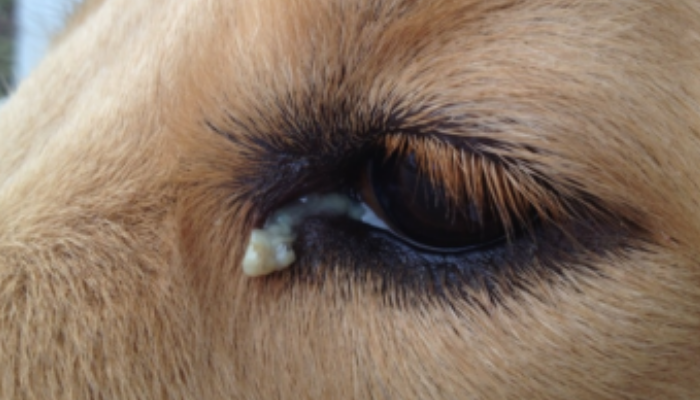 types of Dog Eye Discharge