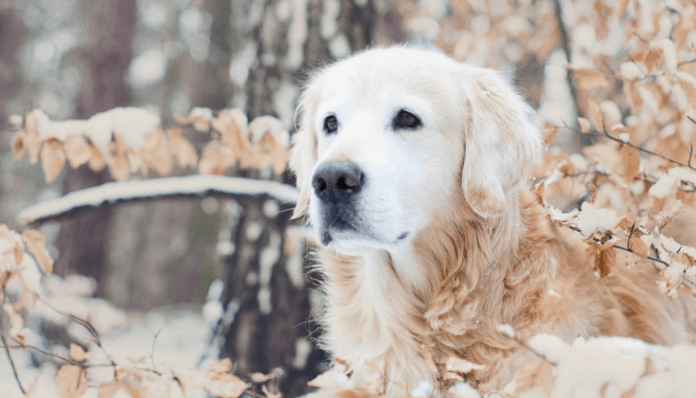 Golden Retriever photo hd