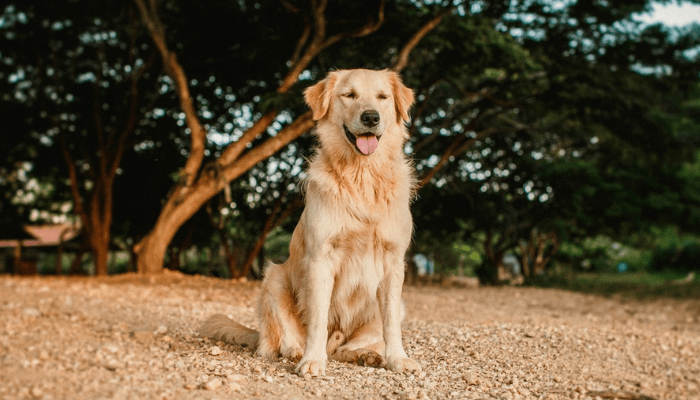 About Golden Retrievers