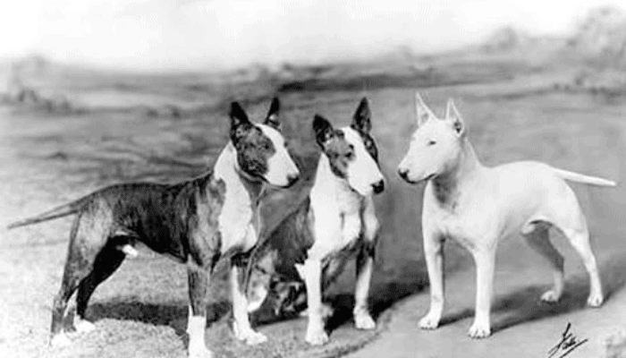 History Bull Terriers